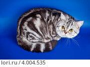 Мраморный шотландский прямоухий кот с желтыми глазами на синем фоне. Стоковое фото, фотограф Мария Егунева / Фотобанк Лори