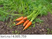 Купить «Свежая морковь на грядке», эксклюзивное фото № 4005759, снято 12 августа 2012 г. (c) Елена Коромыслова / Фотобанк Лори