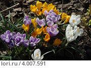 Скоро весна. Крокусы. Стоковое фото, фотограф Александров Александр Морисович / Фотобанк Лори