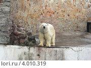 Белый медведь в Ленинградском зоопарке. Стоковое фото, фотограф Джакобия Екатерина / Фотобанк Лори