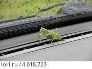 Большой зелёный кузнечик в машине. Стоковое фото, фотограф Алексеева Оксана / Фотобанк Лори