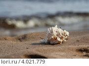 Морская раковина на песке. Стоковое фото, фотограф Анна Андреева / Фотобанк Лори
