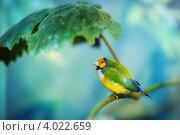 Тропическая птица амадин. Стоковое фото, фотограф Анна Макеичева / Фотобанк Лори