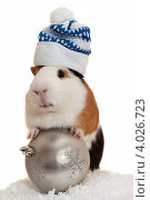 Купить «Морская свинка в зимней шапке на белом фоне», фото № 4026723, снято 16 июля 2019 г. (c) Ковалев Василий / Фотобанк Лори