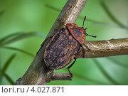 Купить «Пёстрый жук мертвоед», фото № 4027871, снято 26 июня 2012 г. (c) Забалуев Игорь Анатолич / Фотобанк Лори
