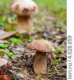 Купить «Белые грибы», эксклюзивное фото № 4028659, снято 12 сентября 2012 г. (c) Игорь Низов / Фотобанк Лори