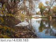Купить «Белый лебедь около пруда в осеннем парке», фото № 4030183, снято 20 октября 2012 г. (c) Victoria Demidova / Фотобанк Лори
