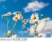 Купить «Ромашки на фоне голубого неба с белыми облаками», фото № 4030339, снято 19 августа 2012 г. (c) Екатерина Овсянникова / Фотобанк Лори