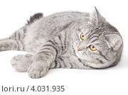 Серая кошка лежит на белом фоне. Стоковое фото, фотограф Александр Тесевич / Фотобанк Лори