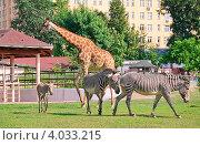 Африканский жираф (Giraffa camelopardalis) и зебры Греви (Equus grevyi) в московском зоопарке. Стоковое фото, фотограф Алёшина Оксана / Фотобанк Лори