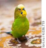Купить «Зелёный волнистый попугай сидит на ковре и смотрит вверх», эксклюзивное фото № 4036719, снято 13 ноября 2012 г. (c) Игорь Низов / Фотобанк Лори