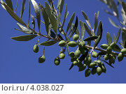 Ветка оливы. Стоковое фото, фотограф Галина Афанасьева / Фотобанк Лори