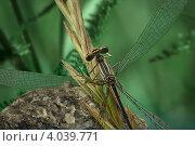 Купить «Зелёная среда обитание болотной стрекозы», фото № 4039771, снято 7 сентября 2010 г. (c) Забалуев Игорь Анатолич / Фотобанк Лори
