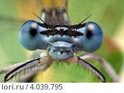Портрет стрекозы с огромными голубыми глазами. Стоковое фото, фотограф Забалуев Игорь Анатолич / Фотобанк Лори