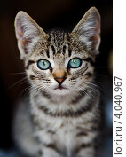 Котенок с  голубыми глазами. Стоковое фото, фотограф Анастасия Ехлакова / Фотобанк Лори