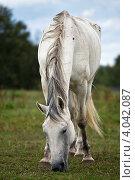 Пасущаяся белая лошадь. Стоковое фото, фотограф Наталья Немчинова / Фотобанк Лори