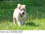 Бегущий щенок. Стоковое фото, фотограф Фатима Арсамакова / Фотобанк Лори
