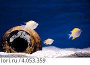 Экзотические рыбки в аквариуме. Стоковое фото, фотограф Ольга Полякова / Фотобанк Лори