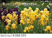 Купить «Желтые и фиолетовые ирисы», фото № 4068591, снято 1 июня 2012 г. (c) Наталья Волкова / Фотобанк Лори