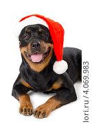 Ротвейлер в шапочке Санта-Клауса, белый фон. Стоковое фото, фотограф Александр Тесевич / Фотобанк Лори
