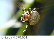 Паук-крестовик (araneus diadematus) Стоковое фото, фотограф Алина Сысоева / Фотобанк Лори