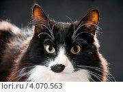 Купить «Портрет кота», эксклюзивное фото № 4070563, снято 2 декабря 2012 г. (c) Куликова Вероника / Фотобанк Лори