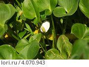 Купить «Белокрыльник болотный (Calla palustris L.)», фото № 4070943, снято 19 января 2020 г. (c) Анна Омельченко / Фотобанк Лори