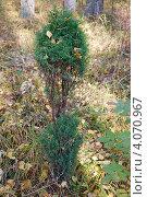 Купить «Можжевельник обыкновенный (Juniperus communis L.)», фото № 4070967, снято 5 октября 2008 г. (c) Анна Омельченко / Фотобанк Лори