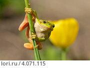 Купить «Древесная лягушка на стебле», фото № 4071115, снято 7 мая 2012 г. (c) Эдуард Кислинский / Фотобанк Лори