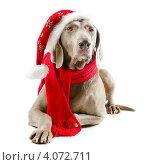 Купить «Собака в красном шарфе и шапочке Санта Клауса лежит на белом фоне», фото № 4072711, снято 11 ноября 2012 г. (c) Tatjana Baibakova / Фотобанк Лори