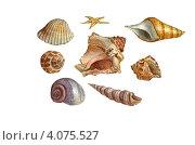 Морские раковины. Рисунок красками. Стоковая иллюстрация, иллюстратор Ковалева Наталья / Фотобанк Лори