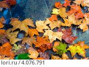 Осенние кленовые листья в воде. Стоковое фото, фотограф Ксения Доброскок / Фотобанк Лори