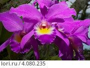 Орхидея фиолетовая. Стоковое фото, фотограф Дмитрий Айчуваков / Фотобанк Лори