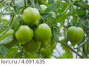 Купить «Зеленые помидоры в парнике», эксклюзивное фото № 4091635, снято 4 августа 2012 г. (c) Елена Коромыслова / Фотобанк Лори