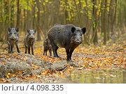 Купить «Дикие кабаны стоят около лужи в лесу», фото № 4098335, снято 28 октября 2012 г. (c) Эдуард Кислинский / Фотобанк Лори