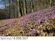 Купить «Поляна с цветущими сиреневыми крокусами в весеннем лесу», фото № 4098507, снято 1 апреля 2009 г. (c) Эдуард Кислинский / Фотобанк Лори
