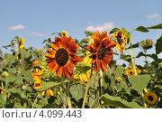 Купить «Декоративный подсолнух (Helianthus annuus L.)», эксклюзивное фото № 4099443, снято 29 июля 2012 г. (c) lana1501 / Фотобанк Лори