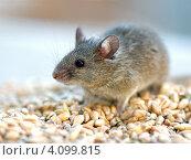 Купить «Серая мышь», фото № 4099815, снято 28 апреля 2007 г. (c) Эдуард Кислинский / Фотобанк Лори