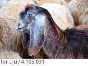 Купить «Морда барана с длинными ушами крупным планом на фоне стада», фото № 4105031, снято 5 декабря 2012 г. (c) Николай Винокуров / Фотобанк Лори