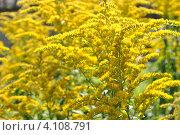Купить «Золотарник канадский (лат. Solidago)», эксклюзивное фото № 4108791, снято 23 июля 2012 г. (c) lana1501 / Фотобанк Лори