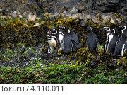 Колония магеллановых пингвинов (Spheniscus magellanicus) в естественной среде обитания на архипелаге Чилоэ, Чили (2010 год). Стоковое фото, фотограф Nadejda Trifonova Jeraj / Фотобанк Лори