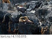 Самки тюленей в естественной среде обитания на архипелаге Чилоэ, Чили (2010 год). Стоковое фото, фотограф Nadejda Trifonova Jeraj / Фотобанк Лори