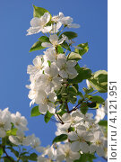 Купить «Крупные цветы яблони на фоне голубого неба», фото № 4121951, снято 19 января 2020 г. (c) Анна Омельченко / Фотобанк Лори