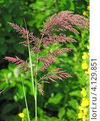 Купить «Вейник пурпурный или Лангсдорфа (Сalamagrostis purpurea, syn. С. langsdorffii)», эксклюзивное фото № 4129851, снято 26 июня 2012 г. (c) Ирина Водяник / Фотобанк Лори
