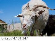 Купить «Портрет белого козла с крупными рогами», фото № 4131347, снято 7 мая 2012 г. (c) Маргарита Волгина / Фотобанк Лори