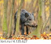 Кабан в лесу. Стоковое фото, фотограф Эдуард Кислинский / Фотобанк Лори