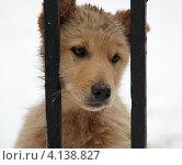 Купить «Грустная рыжая собака смотрит через прутья забора», эксклюзивное фото № 4138827, снято 24 февраля 2006 г. (c) Игорь Низов / Фотобанк Лори