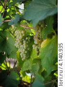 Купить «Гроздь белого винограда на кусте», фото № 4140935, снято 15 сентября 2010 г. (c) Иван Черненко / Фотобанк Лори
