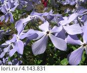 Купить «Флокс растопыренный (лат. Phlox divaricata L.)», эксклюзивное фото № 4143831, снято 17 мая 2012 г. (c) lana1501 / Фотобанк Лори