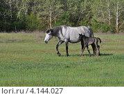 Купить «Домашняя лошадь с жеребёнком», фото № 4144027, снято 6 мая 2011 г. (c) Анна Маркова / Фотобанк Лори